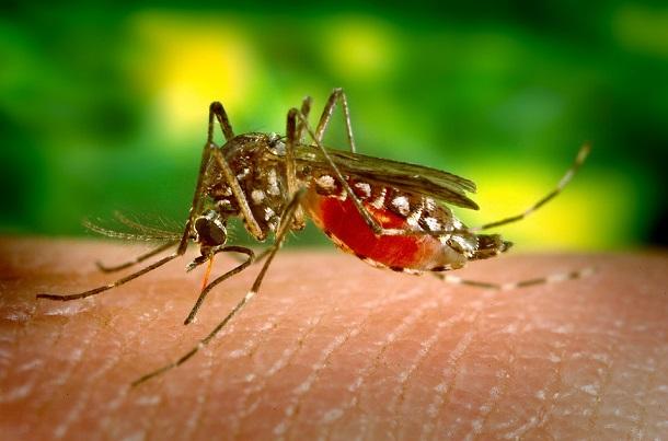 un moustique sur la peau